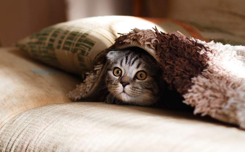 Cat peering from under blanket