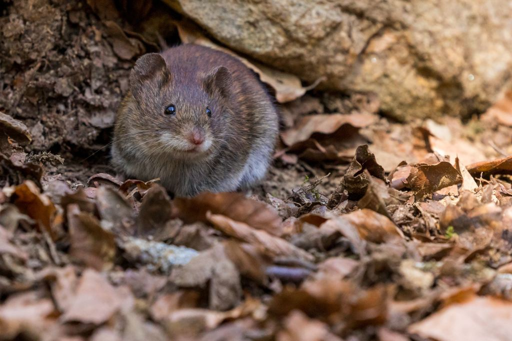 Little brown rodent